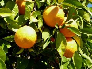 Citrus aurantium fruit